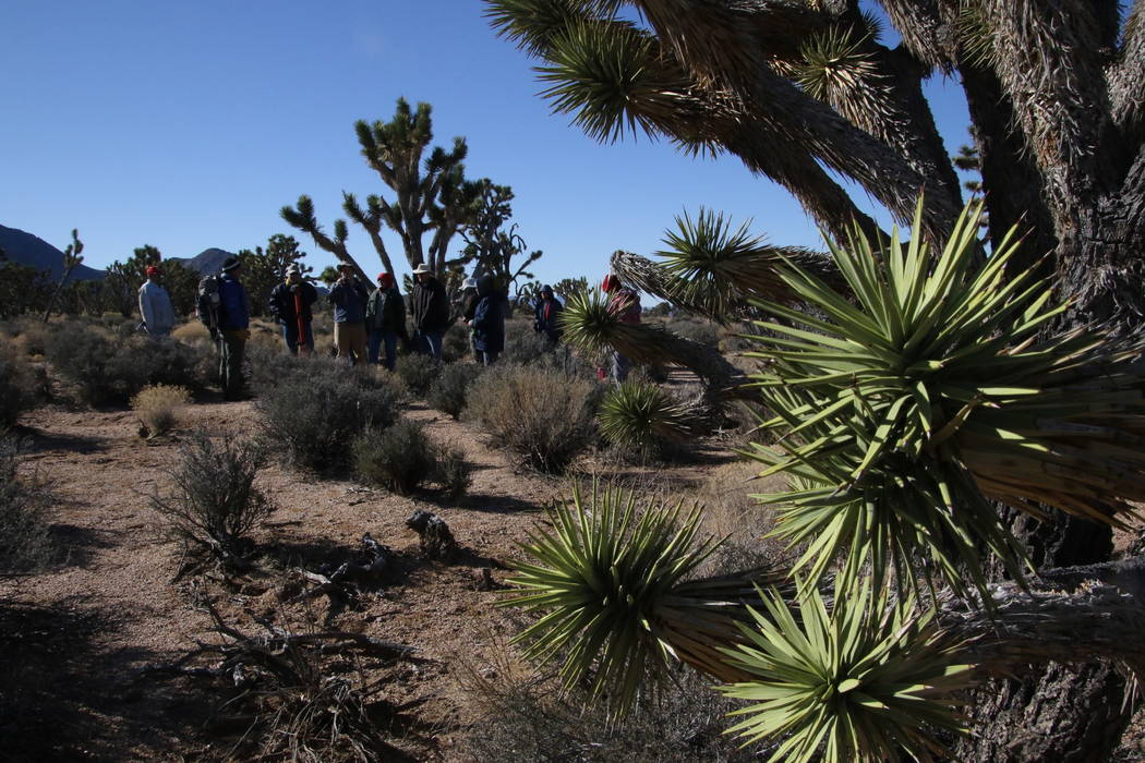 Researchers and volunteers prepare to set up a scientific plot to measure Joshua trees near Meadview, Arizona, Tuesday, Feb. 20, 2018. (Henry Brean/Las Vegas Review-Journal)