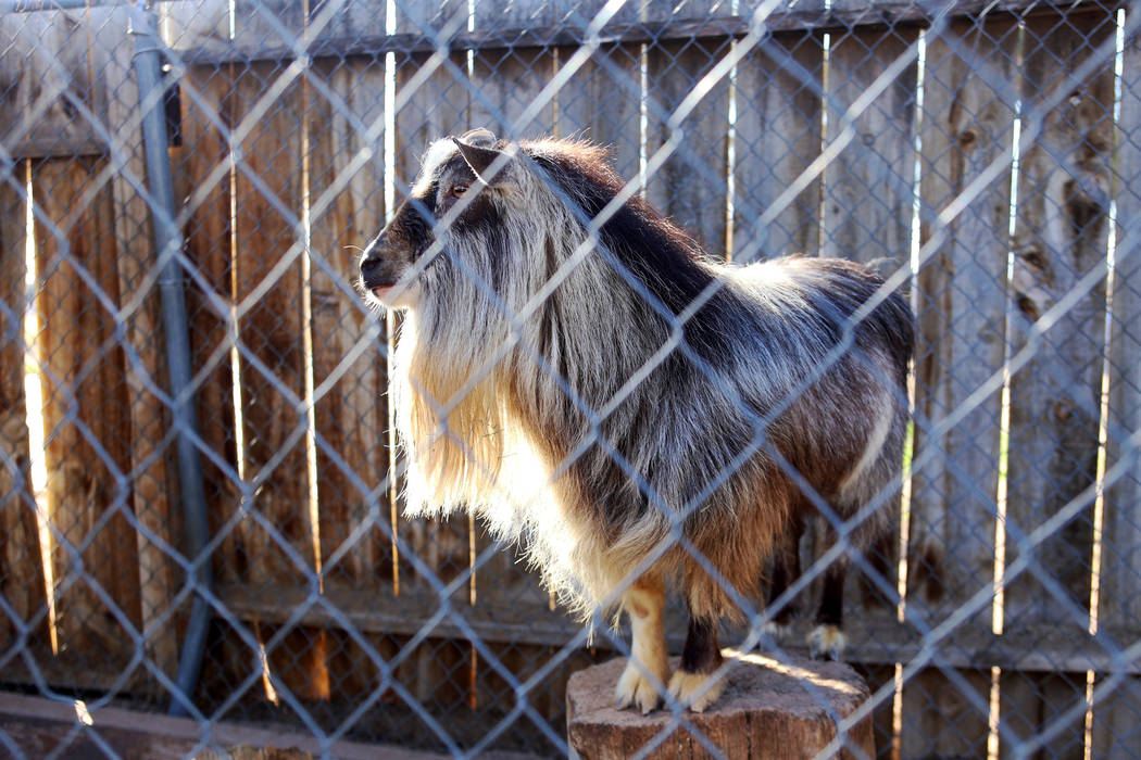 A goat at J.R. Pony Farm in Las Vegas, Wednesday, Feb. 28, 2018. The city of Las Vegas wants to annex 872 acres of land that would affect   more than 1,500 property owners including the J.R. Pony  ...