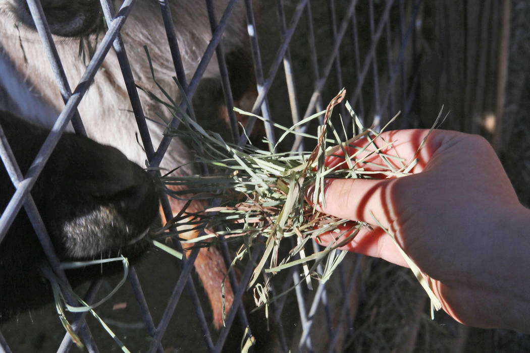 Frankie Lorr, 6, feeds goats at J.R. Pony Farm in Las Vegas, Wednesday, Feb. 28, 2018. The city of Las Vegas wants to annex 872 acres of land that would affect   more than 1,500 property owners in ...
