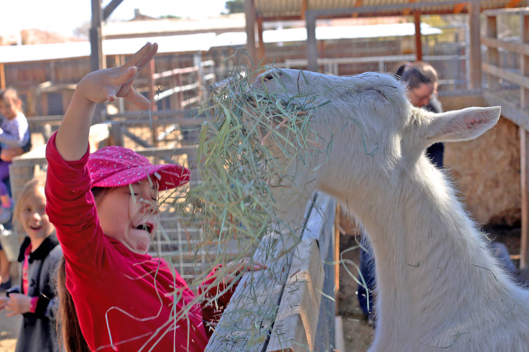 Holly Guthrie, 7, laughs after a goat quickly grabbed hay from her hand at J.R. Pony Farm in Las Vegas, Wednesday, Feb. 28, 2018. The city of Las Vegas wants to annex 872 acres of land that would  ...