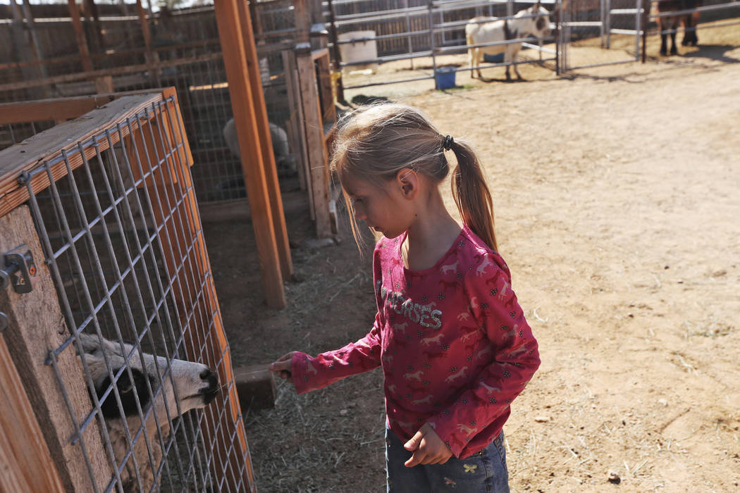Therese Guthrie, 5, feeds a sheep some hay at the J.R. Pony Farm in Las Vegas, Wednesday, Feb. 28, 2018. The city of Las Vegas wants to annex 872 acres of land that would affect   more than 1,500  ...