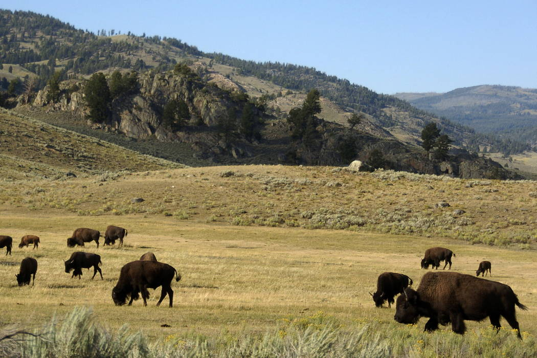 A herd of bison grazes in the Lamar Valley of Yellowstone National Park in Wyoming in 2016. (AP Photo/Matthew Brown, File)