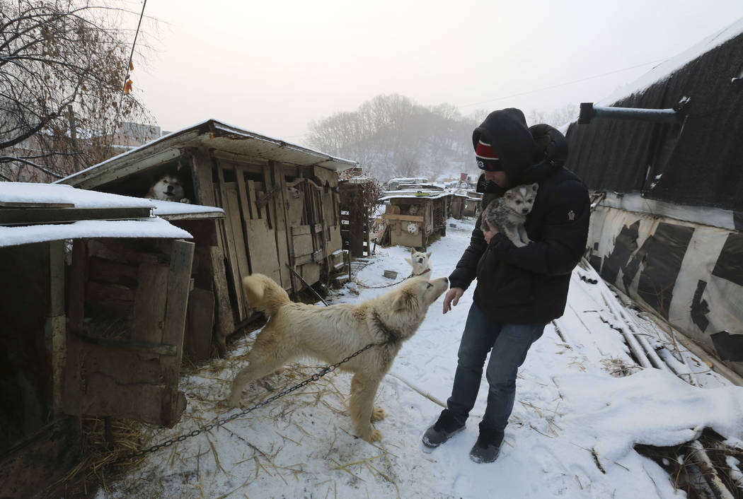 American freestyle skier Gus Kenworthy's boyfriend, watches a dog at a dog meat farm in Siheung, South Korea, Feb. 23, 2018. (AP Photo/Ahn Young-joon)