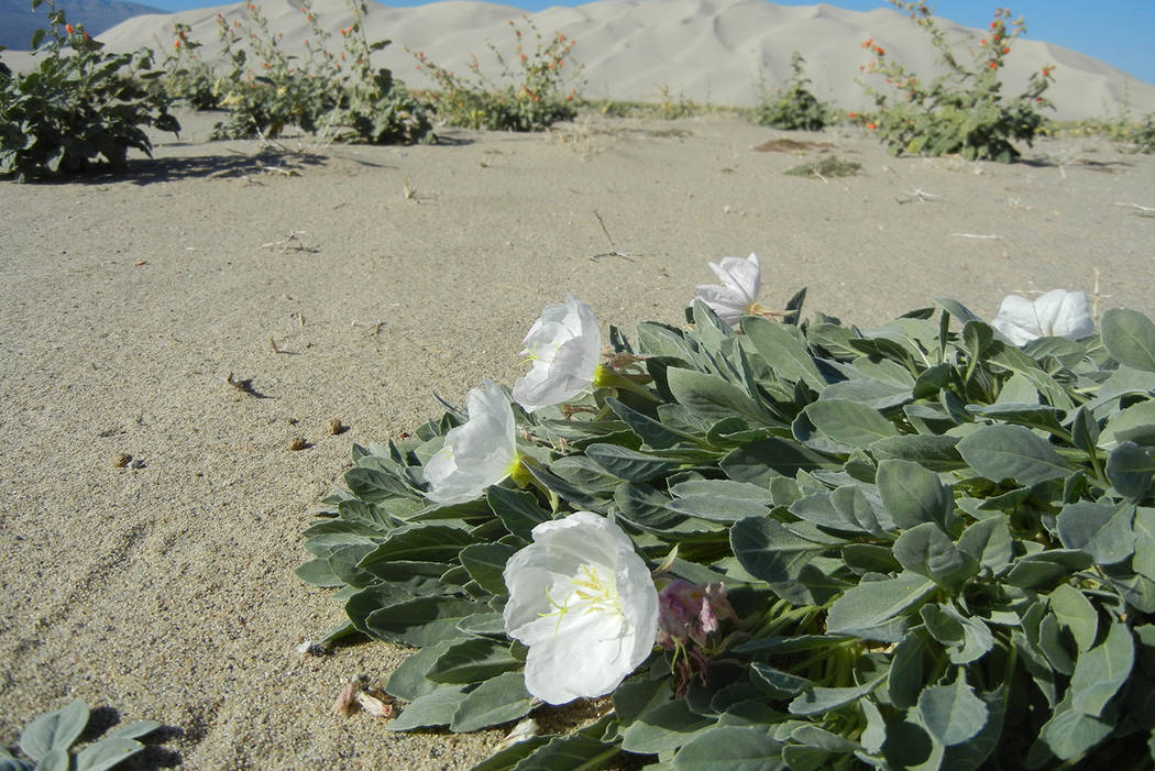A Eureka Valley evening-primrose blooms in the sand of Eureka Dunes in this undated photo. The rare plant is being removed from the Endangered Species List after 40 years of protection. U.S. Fish  ...