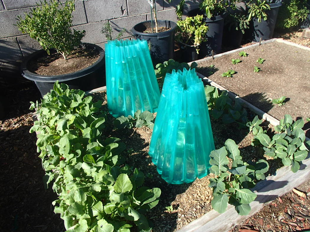 If planted too early, tomato plants will suffer from cold soils ...
