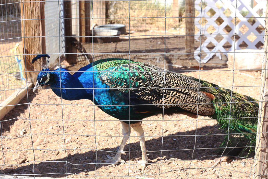 A peacock at the J.R. Pony Farm in Las Vegas, Wednesday, Feb. 28, 2018. The city of Las Vegas wants to annex 872 acres of land that would affect   more than 1,500 property owners including the J.R ...