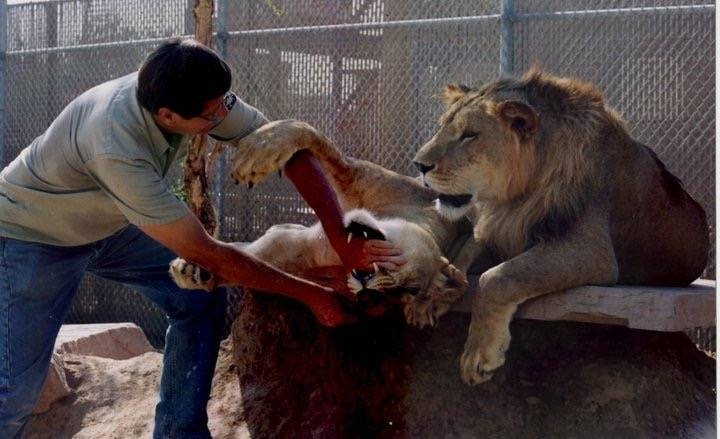 Pat Dingle plays with the lions at his Southern Nevada Zoological-Botantical Park in an undated family photo. Dingle family