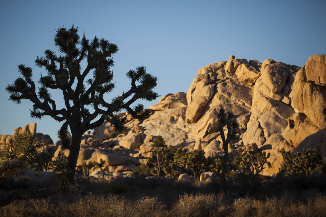 A large Joshua tree is silhouetted against the sky at Joshua Tree National Park outside of Twentynine Palms, Calif. on Thursday, Sept. 15, 2016. Chase Stevens/Las Vegas Review-Journal Follow @csst ...