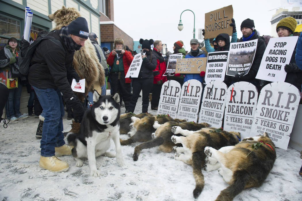 Anchorage resident Terry Fischer, with his Alaskan Husky Litho, happens into the People For the Ethical Treatment of Animals protest prior to the ceremonial start of the Iditarod Trail Sled Dog Ra ...