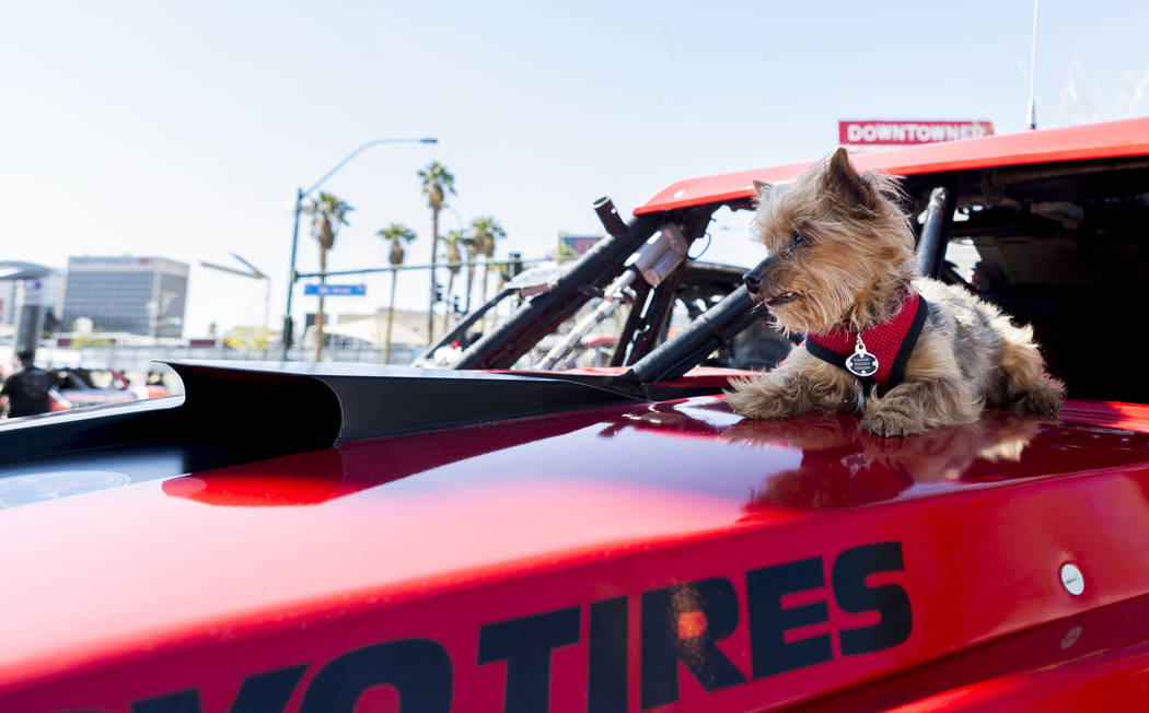 Carmilita, a Yorkshire Terrier, rides the hood of her owner's race car during the Mint 400 Truck parade after finishing the route from the Welcome to Fabulous Las Vegas sign to Atomic Liquors, Dow ...