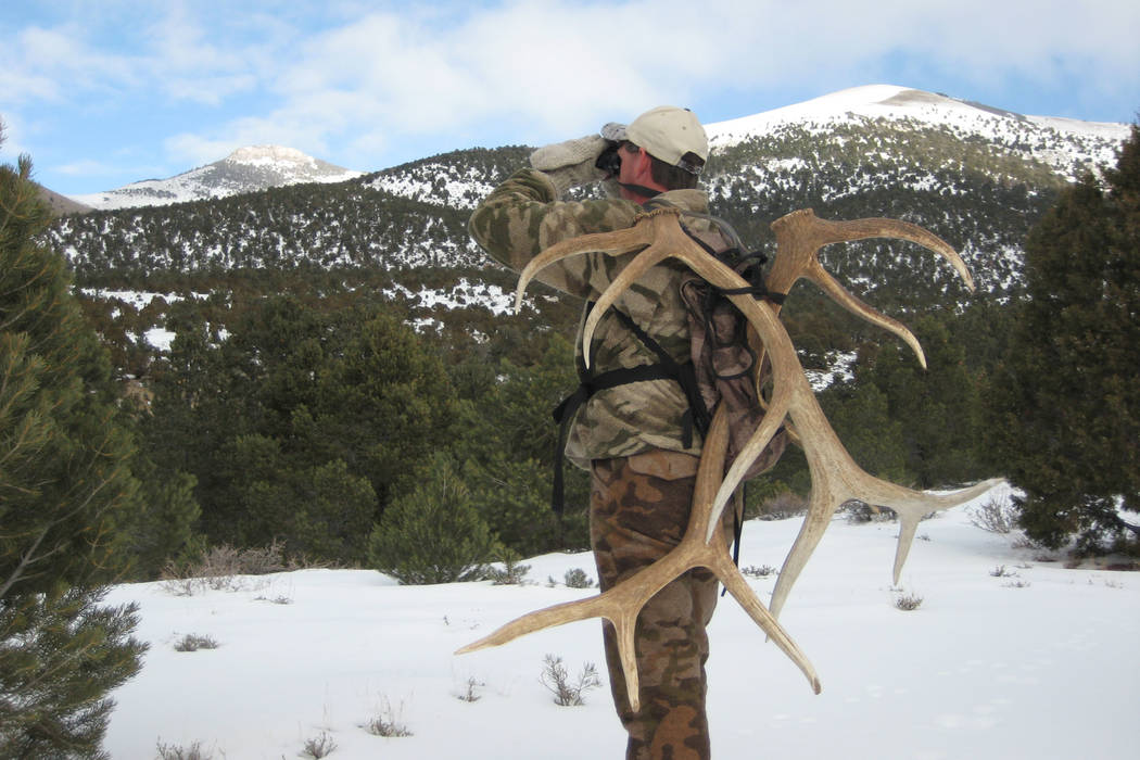 A shed antler hunter looks for the antlers that deer and elk have shed in the Nevada wild. Nevada wildlife officials are considering banning shed antler hunting during the winter months to help pr ...
