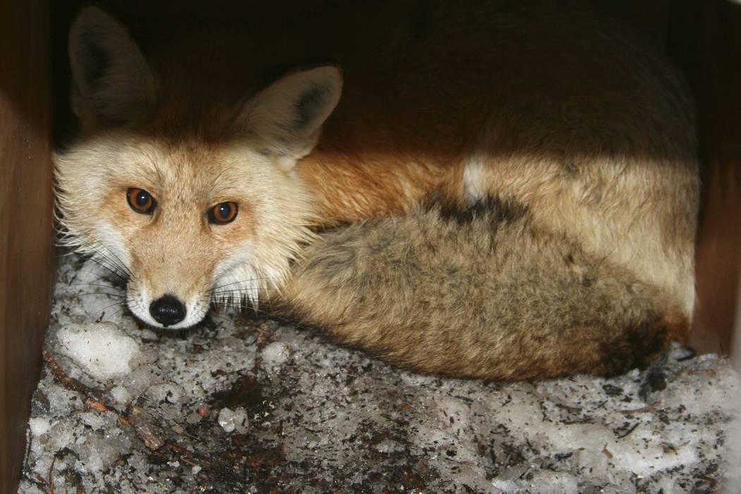 A captured male red fox is seen. California wildlife biologists say they have caught two rare Sierra Nevada red foxes in three weeks. (California Department of Fish and Wildlife via AP)