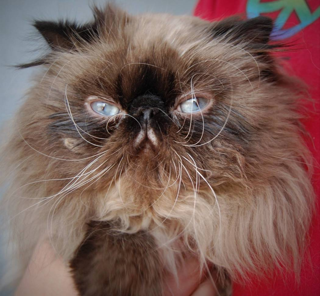 Prince, a two-year-old Seal-Point-Persian mix, is the mascot for the NSPCA. He'll compete in an online voting competition for a $5,000 grand prize called Tournament of Tails. (NSPCA Facebook)