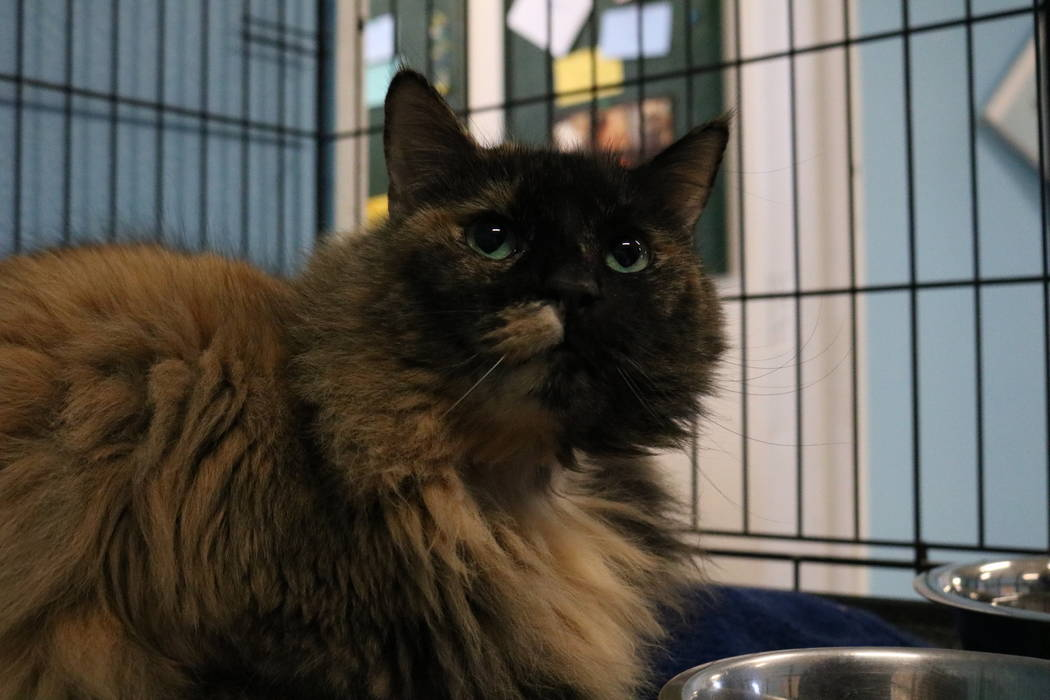 Stella, a cat up for adoption at the NSPCA, at the shelter at 4800 W. Dewey Dr. in Las Vegas on Monday,  March 12, 2018. The NSPCA is competing in an online voting competition for a $5,000 grand p ...