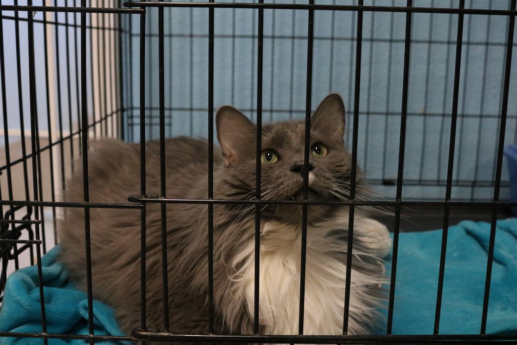 Skyler, a cat up for adoption at the NSPCA, at the shelter at 4800 W. Dewey Dr. in Las Vegas on Monday,  March 12, 2018. The NSPCA is competing in an online voting competition for a $5,000 grand p ...