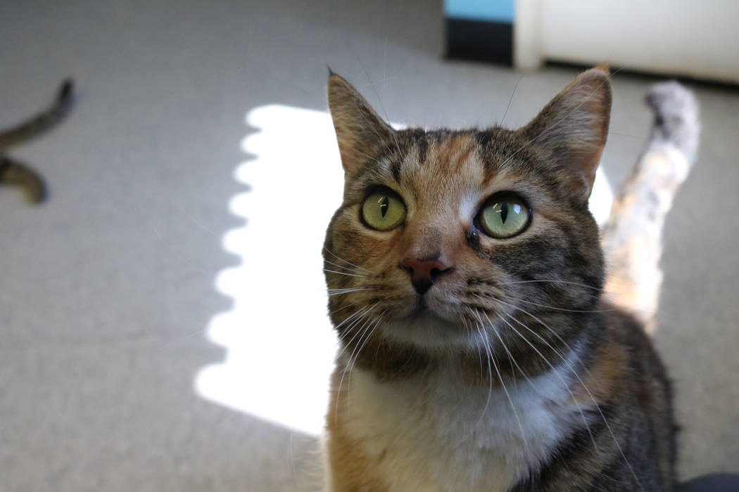 Peppermint, a cat up for adoption at the NSPCA, at the shelter at 4800 W. Dewey Dr. in Las Vegas on Monday, March 12, 2018. The NSPCA is competing in an online voting competition for a $5,000 gran ...