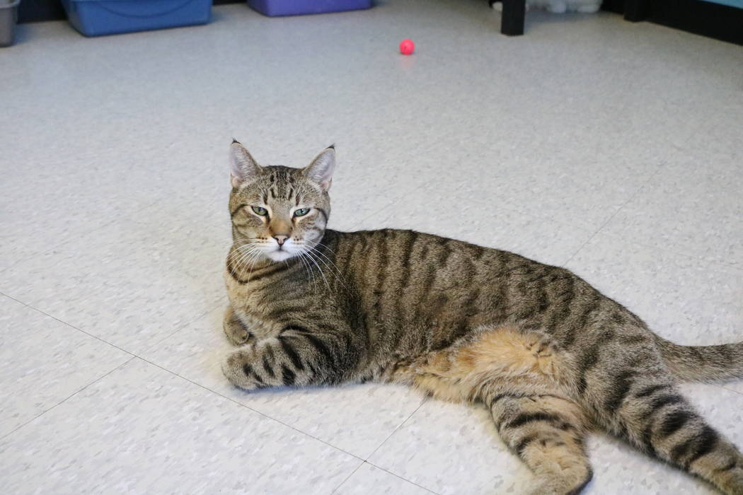 Sundance, a cat up for adoption at the NSPCA, at the shelter at 4800 W. Dewey Dr. in Las Vegas on Monday,  March 12, 2018. The NSPCA is competing in an online voting competition for a $5,000 grand ...