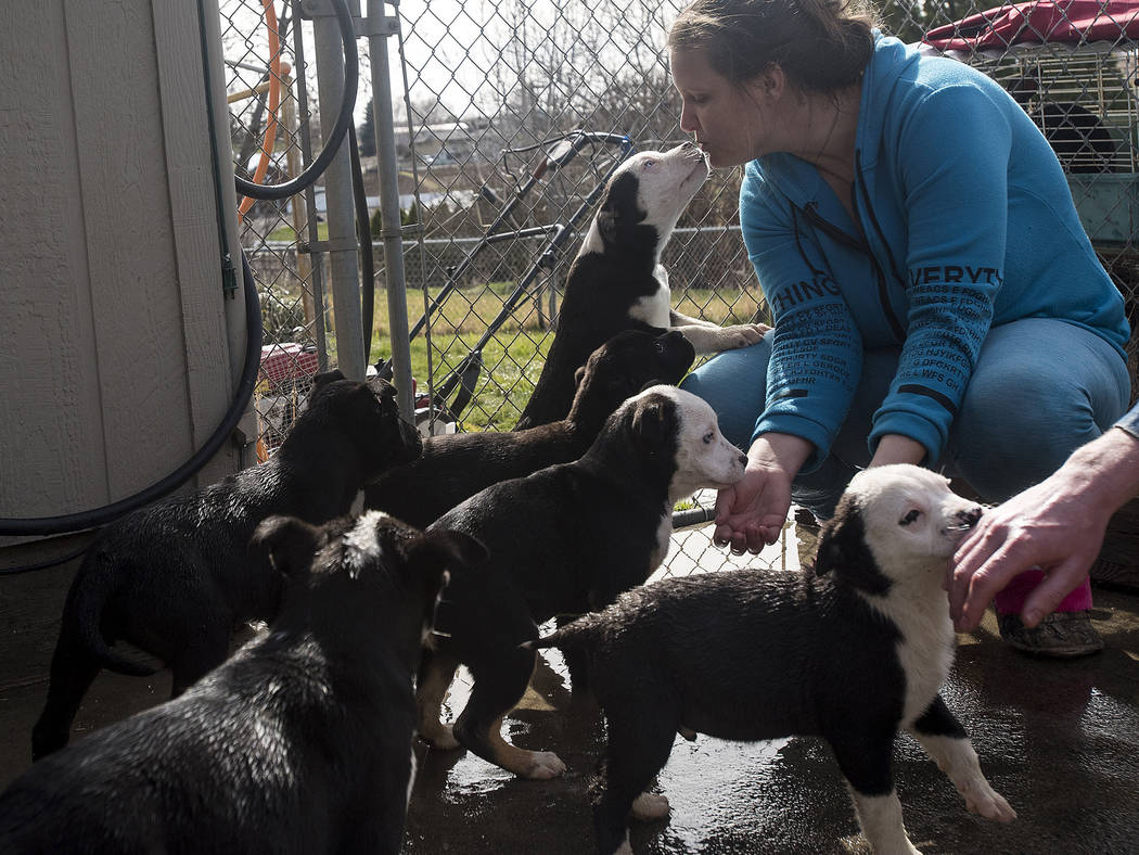 Raechel Irby gets a kiss from one of the six puppies she is caring for at her home in Clarkston Heights, Idaho on Wednesday, March 7, 2018. The litter of six puppies was found caring for their mot ...