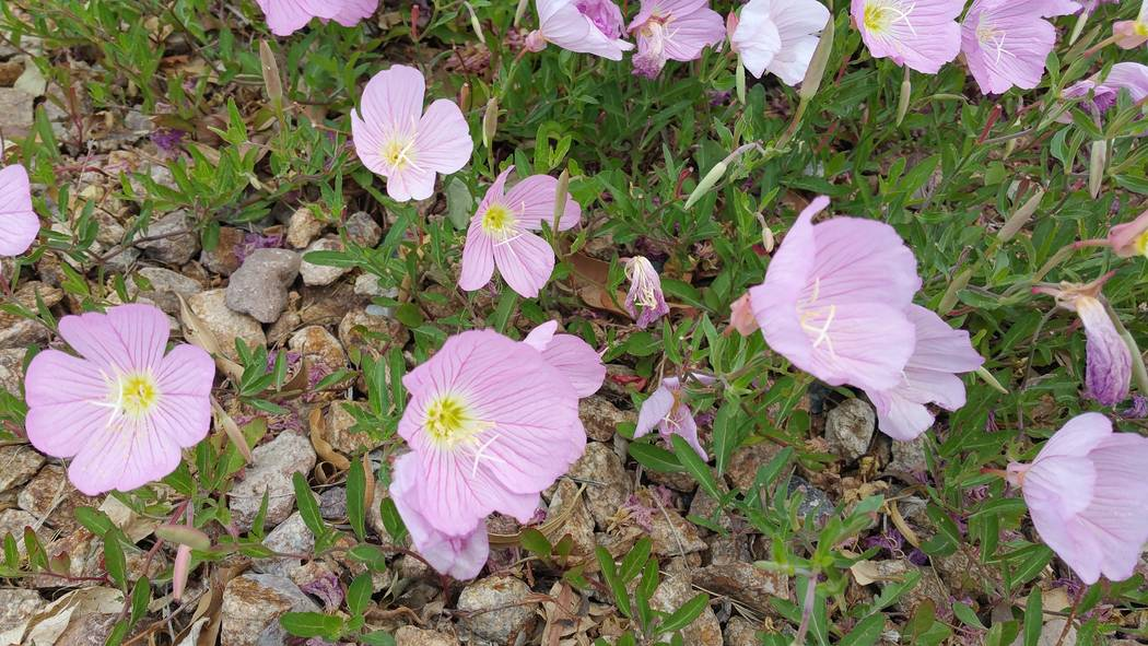 Bob Morris Mexican primrose is very difficult to get rid of once it gets established.