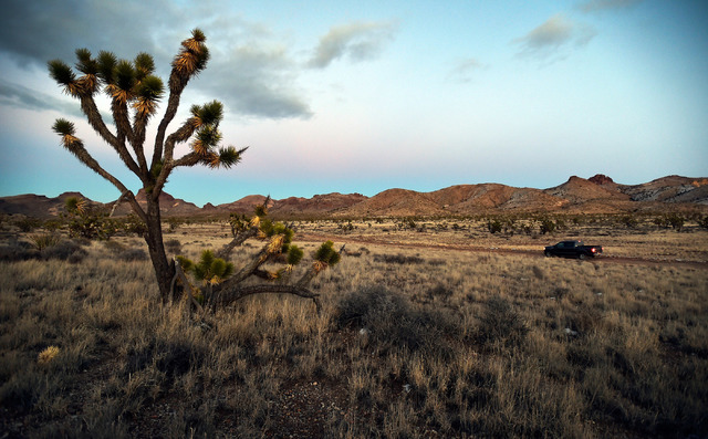 Joshua trees at Castle Mountains National Monument in eastern California on Feb. 1, 2016. A wind energy project has been proposed on public land in Nevada just across the border from the monument. ...