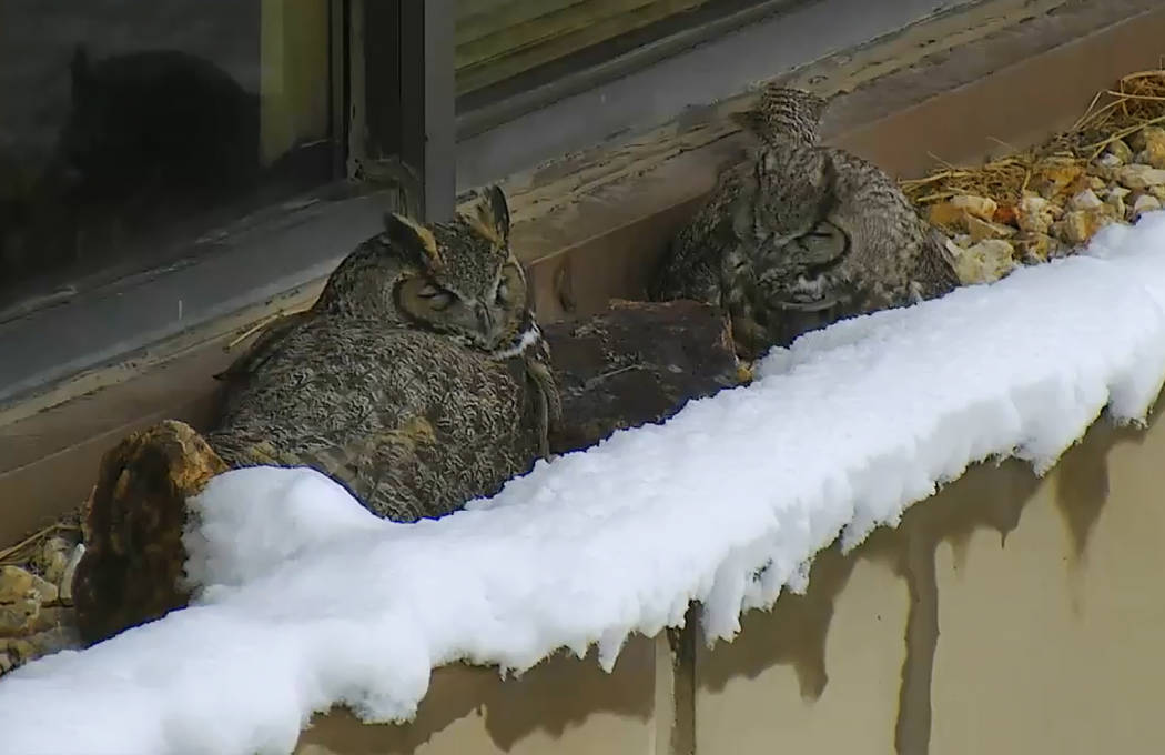 State wildlife officials have installed a webcam so anyone with an internet connection can spy on a trio of great horned owls nesting on a second-story ledge at the Desert Research Institute's off ...