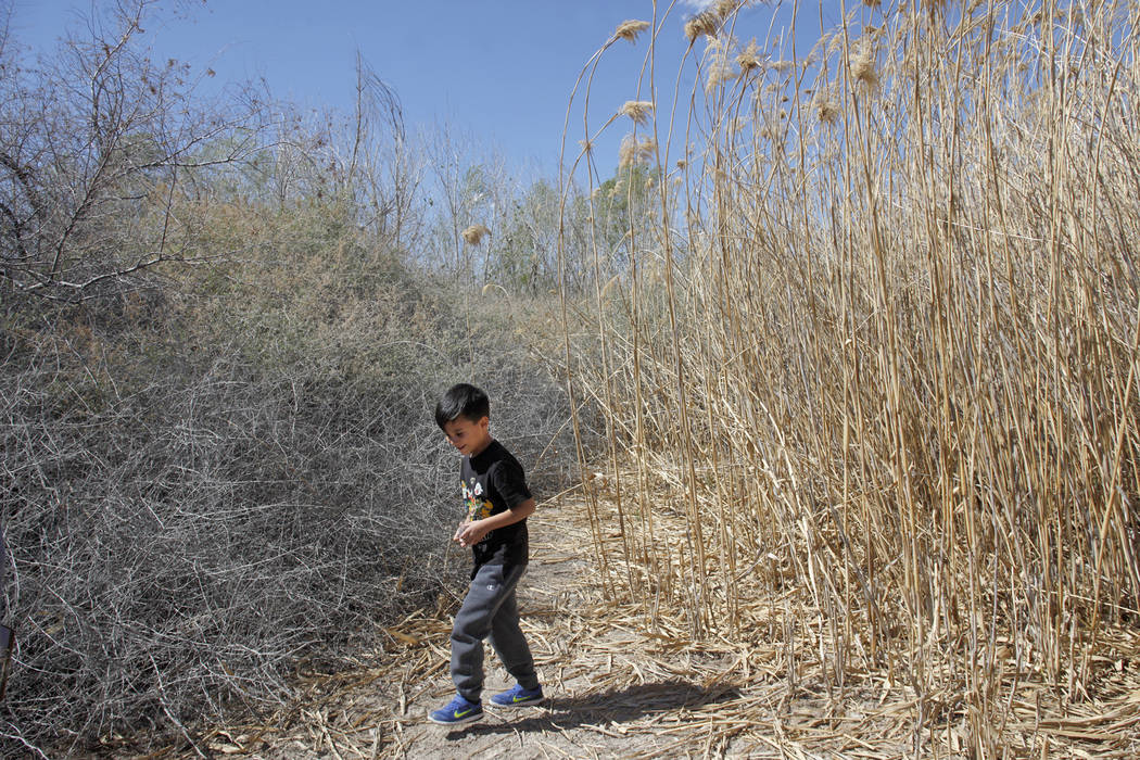 Jesse Camacho, 6, searches for ladybugs as part of the Young Explorers program at the Clark County Wetlands Park in Las Vegas, Sunday, March 25, 2018. (Rachel Aston Las Vegas Review-Journal @rooki ...