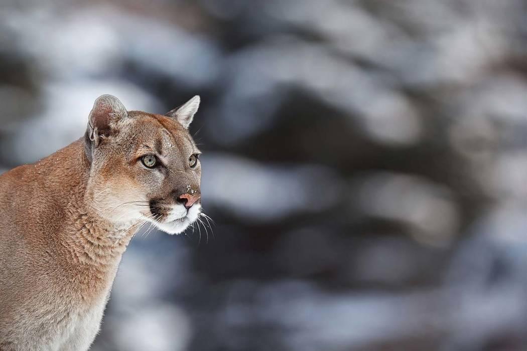 Mountain lion caught after roaming Southern California neighborhood