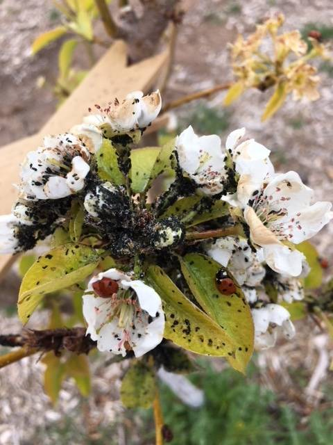 Bob Morris Aphids can be seen on these pear tree blossoms.