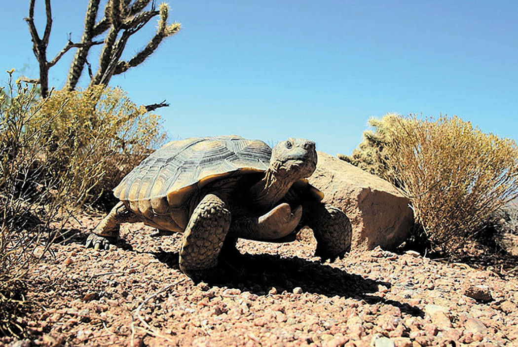 Mojave Max came out of his burrow at Springs Preserve on Friday, March 23. (Las Vegas Review-Journal)