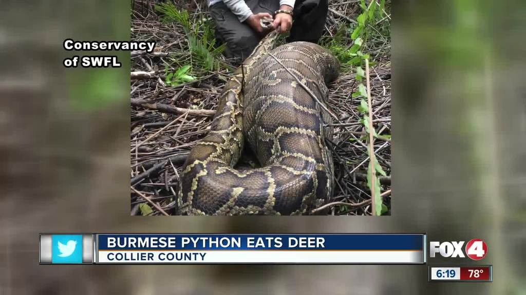 Florida python eats deer that weights 4 pounds more than snake | Las