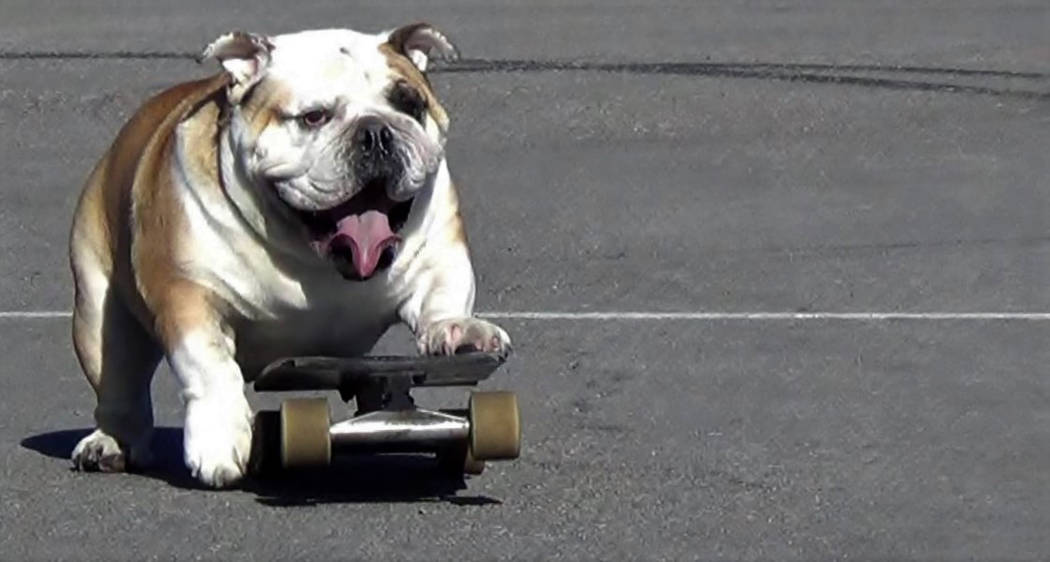 English bulldog George is shown on a skateboard in this undated photo. (Provided by Marcus J. Singel)