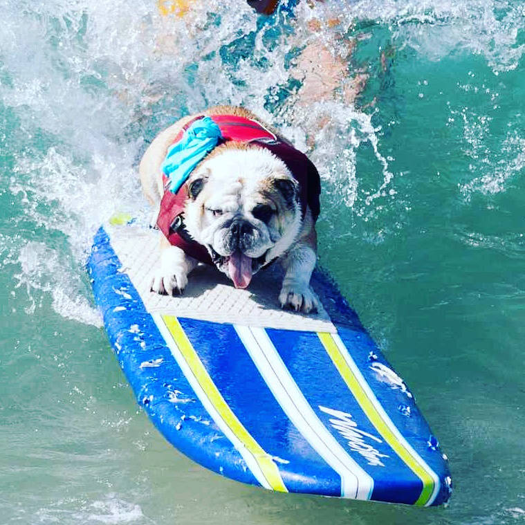 English bulldog George is shown on a surfboard in this undated photo. (Provided by Marcus J. Singel)