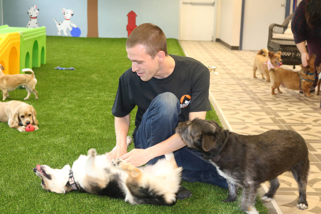 Adventure Dog Park employee Cody Wenzel-Wolsten plays with dogs inside a new indoor dog park in Las Vegas on March 21. Rochelle Richards/Las Vegas Review-Journal @RoRichards24