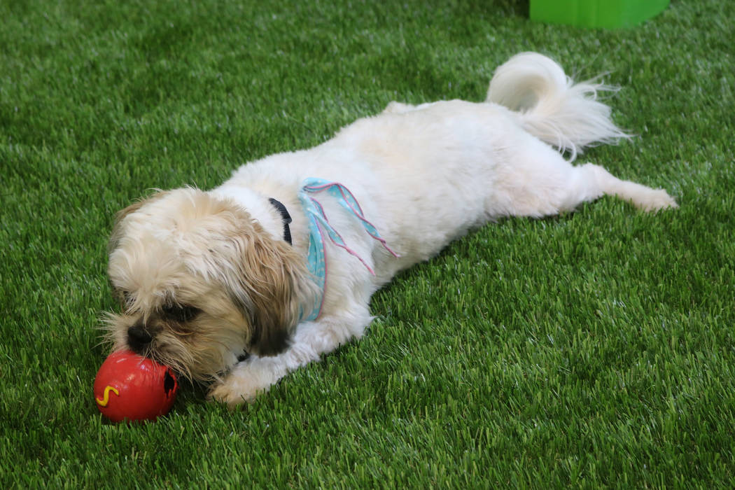 A dog enjoys some play time at Adventure Dog Park, 2435 E. Warm Springs Rd., a new indoor dog park in Las Vegas. Rochelle Richards Las Vegas Review-Journal @RoRichards24