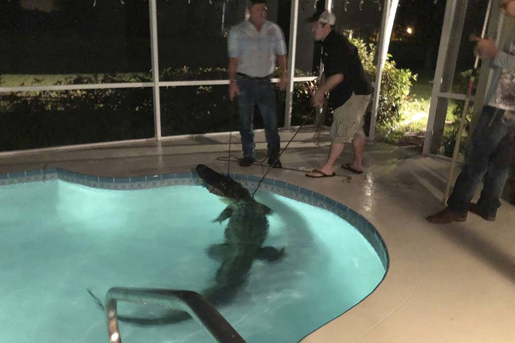 In this photo provided by Sarasota County Sheriff's Office, authorities remove an alligator from a pool in Sarasota, Florida. Authorities received a call about the alligator Friday, March 30, 20 ...
