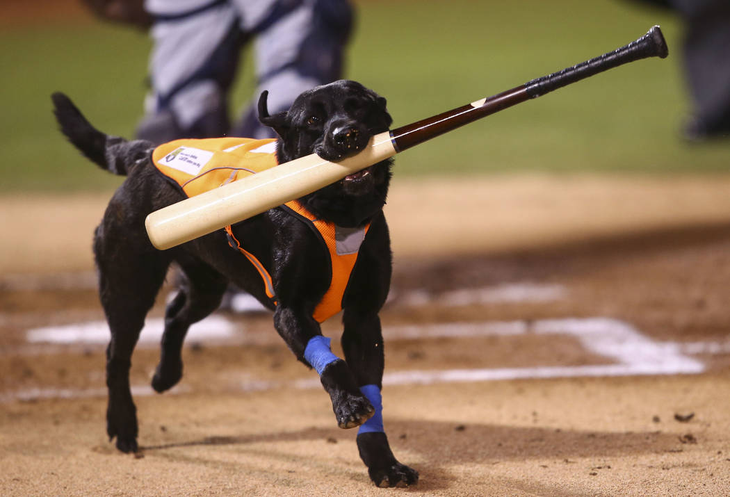 Las Vegas 51s bat dog Finn carries a bat during the opening day baseball game against the El Paso Chihuahuas at Cashman Field in Las Vegas on Thursday, April 5, 2018. Chase Stevens Las Vegas Revie ...