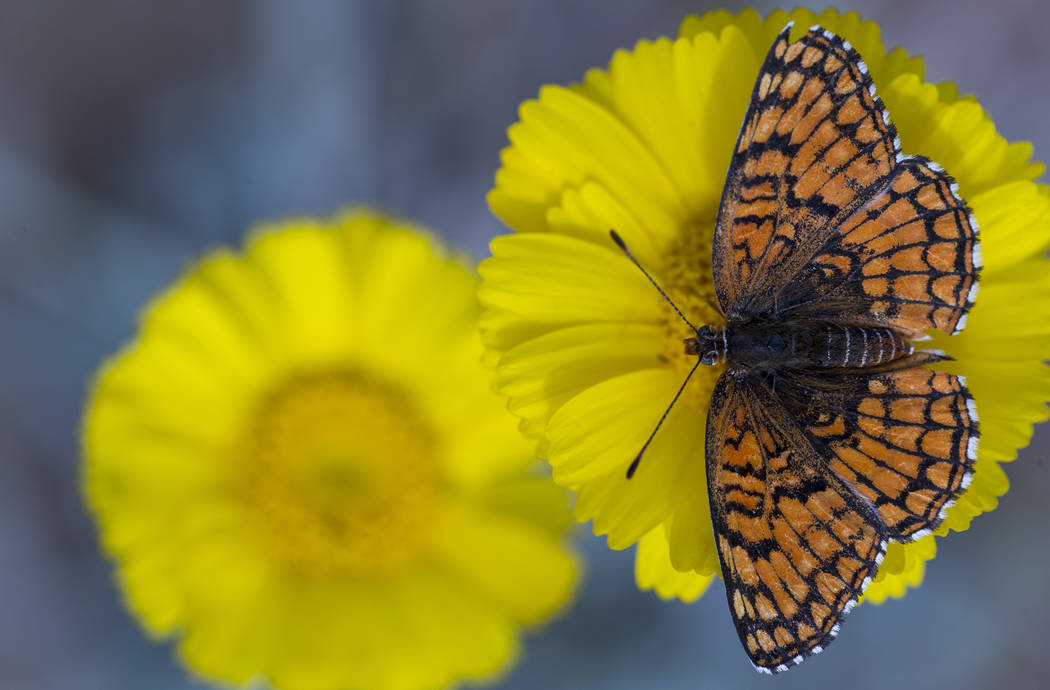 A butterfly lands on a flower near the Red Rock Canyon National Conservation Area sign on Saturday, April 7, 2018. Richard Brian Las Vegas Review-Journal @vegasphotograph