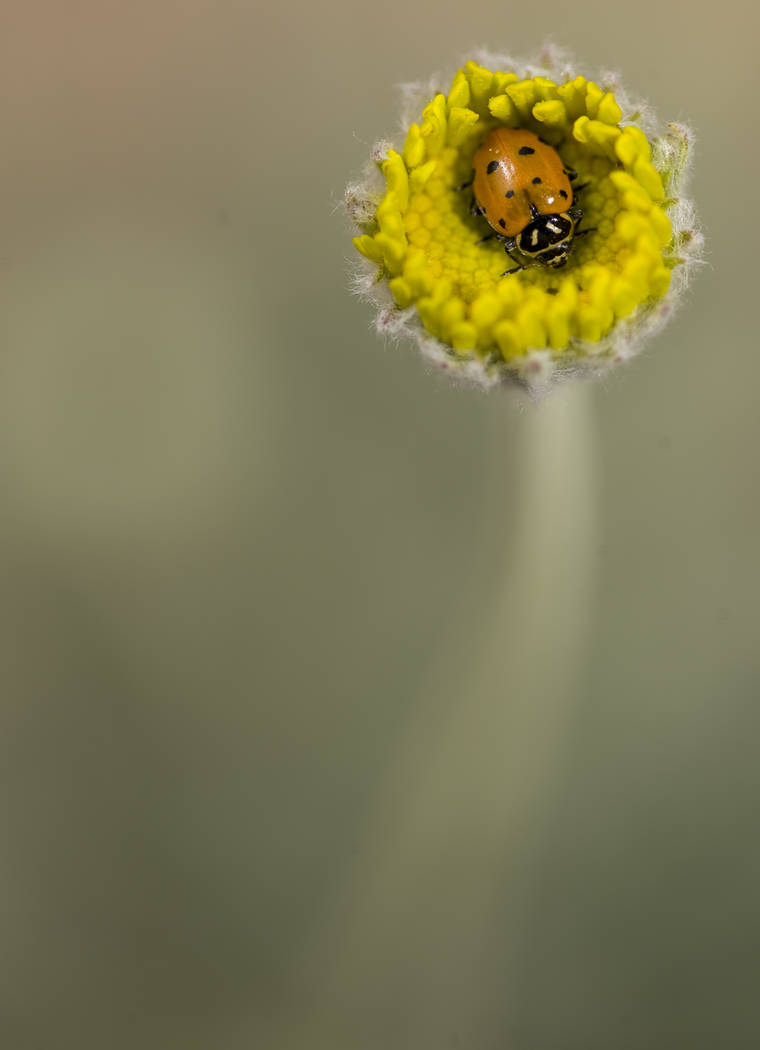 A ladybug moves on a flower near the Red Rock Canyon National Conservation Area sign on Saturday, April 7, 2018. Richard Brian Las Vegas Review-Journal @vegasphotograph
