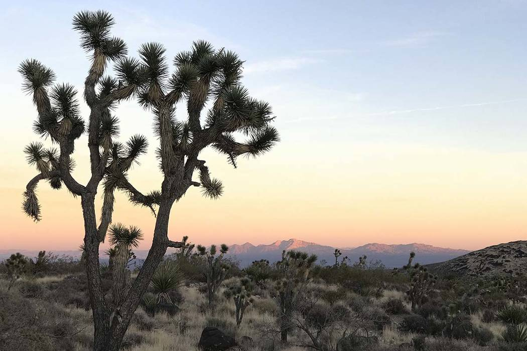 A Joshua tree frames the view of Spirit Mountain at sunset on Nov. 25, 2017. A wind farm with as many as 248 40-story turbines has been proposed for the area. (Henry Brean/Las Vegas Review-Journal)