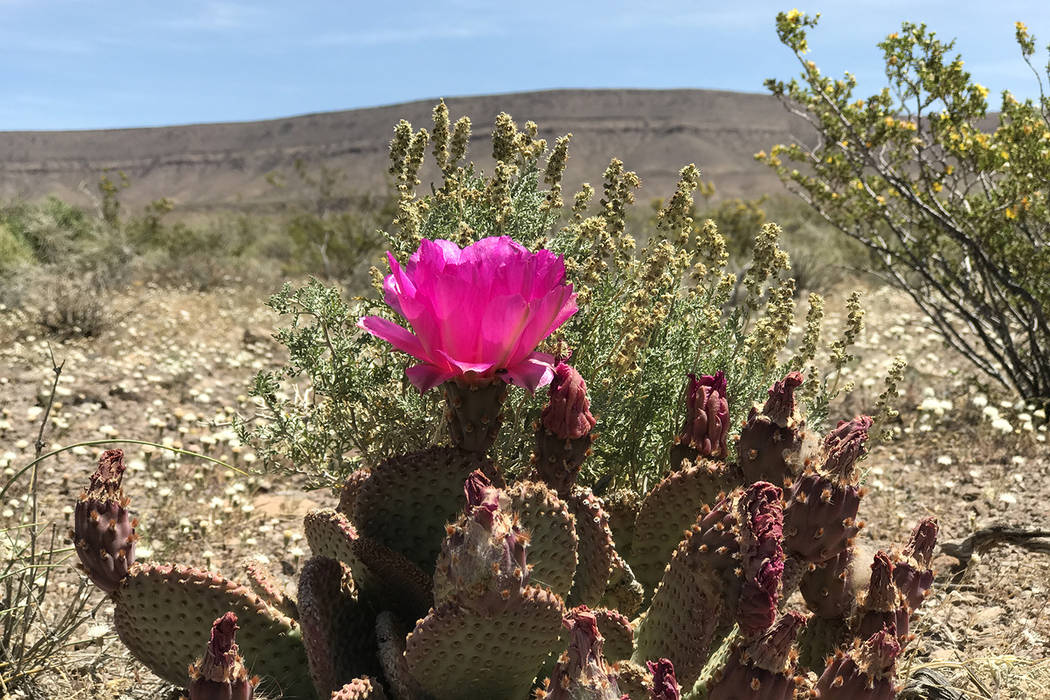 A cactus blooms May 3, 2017 on the west side of Yucca Mountain Keith Rogers/Las Vegas Review-Journal