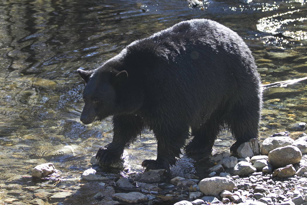 A black bear searches for Kokanee salmon as it walks along Taylor Creek in South Lake Tahoe, Calif., in October. (AP Photo/Rich Pedroncelli, File)