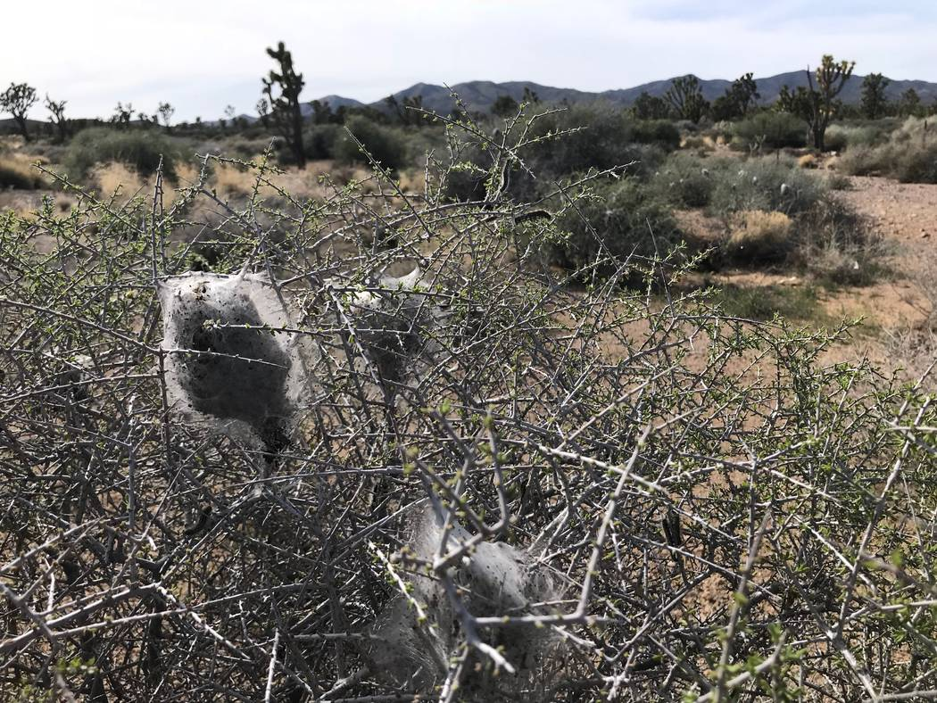 Silken colonies spun by Western tent caterpillars hang in the bushes west of Searchlight on April 9. Henry Brean Las Vegas Review-Journal