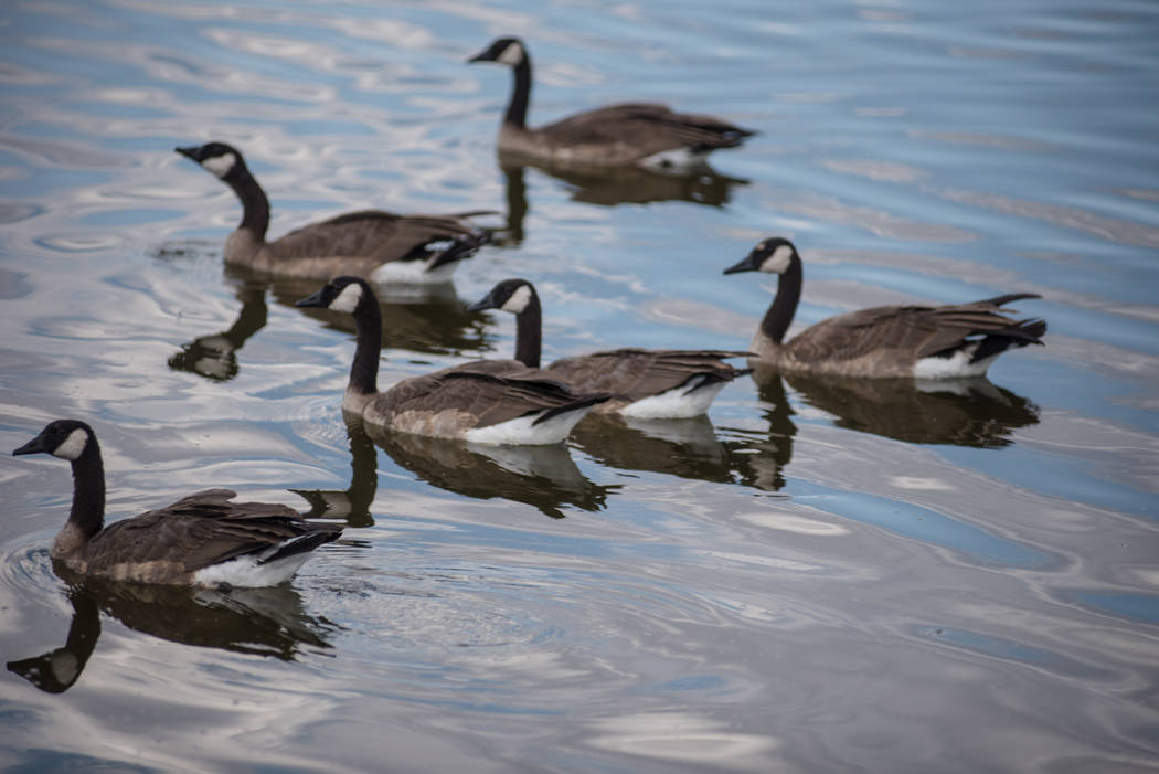 Ducks spend some time cooling off at Cornerstone Park on Wednesday, Aug. 9, 2017, in Henderson. Morgan Lieberman Las Vegas Review-Journal