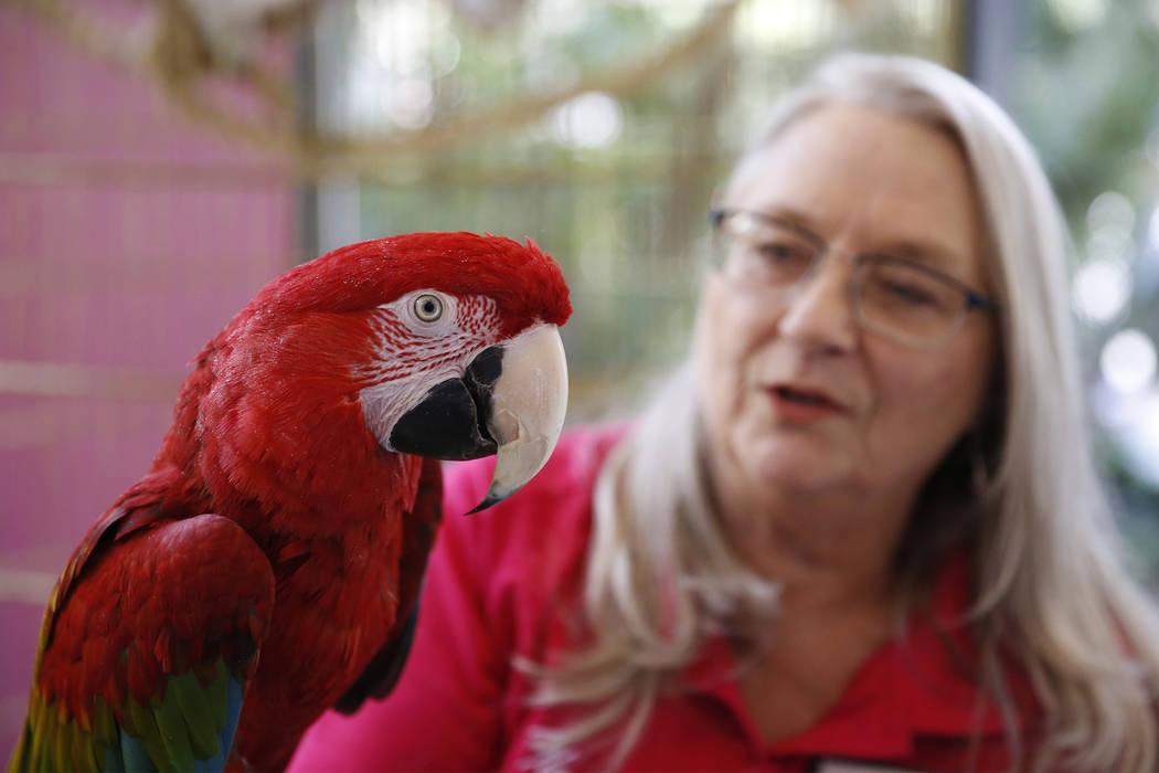 Wildlife curator Robin Matos holds a green-winged macaw named Captain at the Flamingo casino-hotel in Las Vegas, Thursday, April 19, 2018. Erik Verduzco Las Vegas Review-Journal @Erik_Verduzco