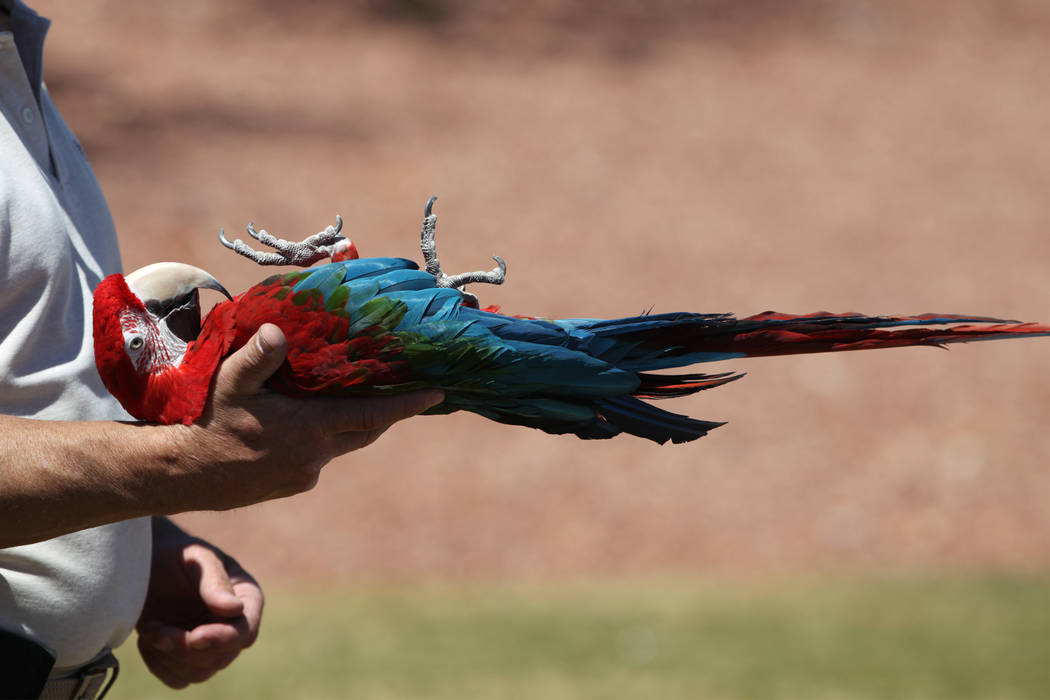 Joe Krathwohl, The Birdman, holds a green-winged macaw during a show at the Going Green Earth Day event at Huckleberry Park in Las Vegas, Saturday, April 21, 2018. Erik Verduzco Las Vegas Review-J ...