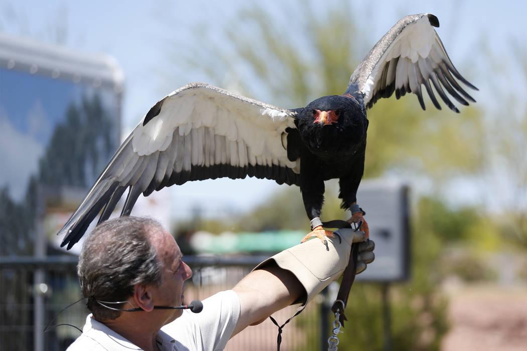 Joe Krathwohl, The Birdman, holds a Bateleur Eagle during a show at the Going Green Earth Day event at Huckleberry Park in Las Vegas, Saturday, April 21, 2018. Erik Verduzco Las Vegas Review-Journ ...