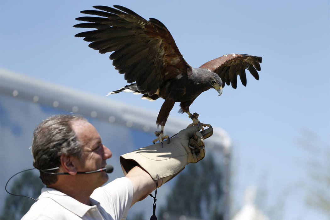 Joe Krathwohl, The Birdman, holds a Steppe Hawk during a show at the Going Green Earth Day event at Huckleberry Park in Las Vegas, Saturday, April 21, 2018. Erik Verduzco Las Vegas Review-Journal ...