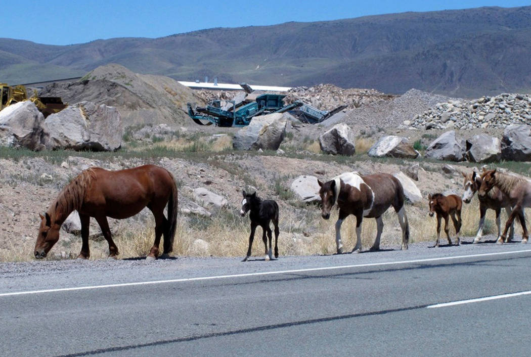 Free-roaming horses owned by the state of Nevada walk along the USA Parkway at the Tahoe Reno Industrial Center, in Mustang in 2015. (AP Photo/Scott Sonner, File)