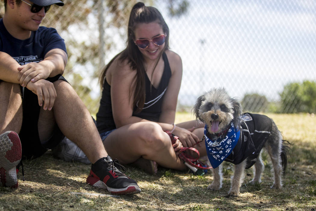 Miniature Snoodle Jack watches baseball with Evan and Lily Posocco at Cashman Field in Las Vegas on Sunday, April 22, 2018. Patrick Connolly Las Vegas Review-Journal @PConnPie