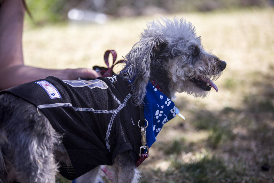Jack, a 4-year-old miniature Schnoodle, at Cashman Field in Las Vegas on Sunday, April 22, 2018. Patrick Connolly Las Vegas Review-Journal @PConnPie